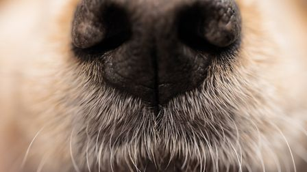 """""""Close up of a spaniel nose, shallow depth of field."""""""