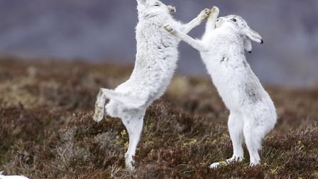 A pair of mountain hares box in the Cairngorms in winter Credit: Wild & Free/Getty