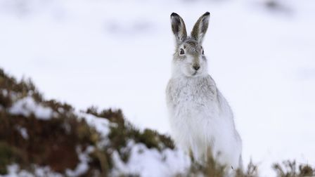 The mountain hare is now a protected species and cannot be shot unless a special licence is granted
