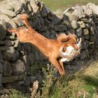 Once your dog is working in the field, an ability to clear obstacles during retrieving will be a rea