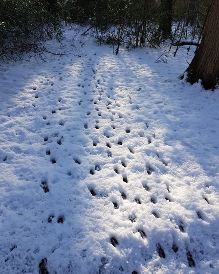 Not exactly easy to overlook. Fresh fallen snow can give you a pretty good idea of deer numbers