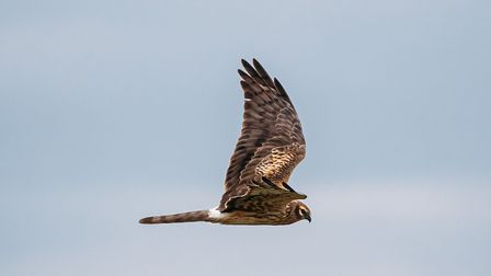 Hen harriers have lost habitat and food sources, and are also vulnerable to egg and chick predation