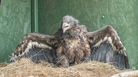White-tailed Sea Eagle chicks were first brought to Scotland, from Norway in 1975