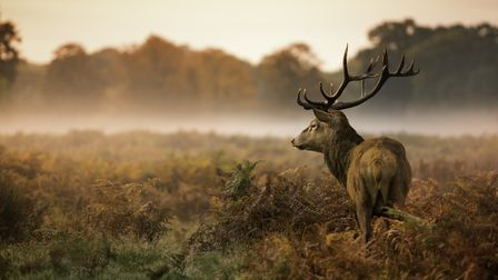 Red deer stag, (Cervus elaphus) ready for the rut but perhaps not for the change rewilders may bring