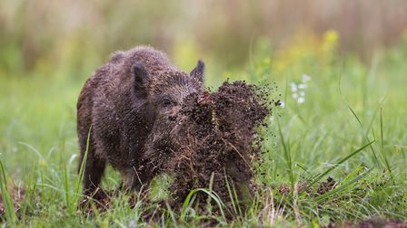 Concerns over the effects on farmland, forestry and the boars' own well-being (similar to deer, they