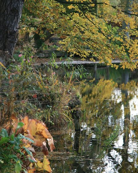 The changing colours of the trees reflected in the lake with damera peltata planted in the foregrou