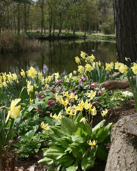 Erythronium, hellebores and daffodils planted in the stumpery over looking the lake giving lots of s