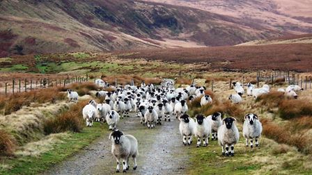 A woolly welcome along the Pennine Way on the Marsden Moor National Trust estate