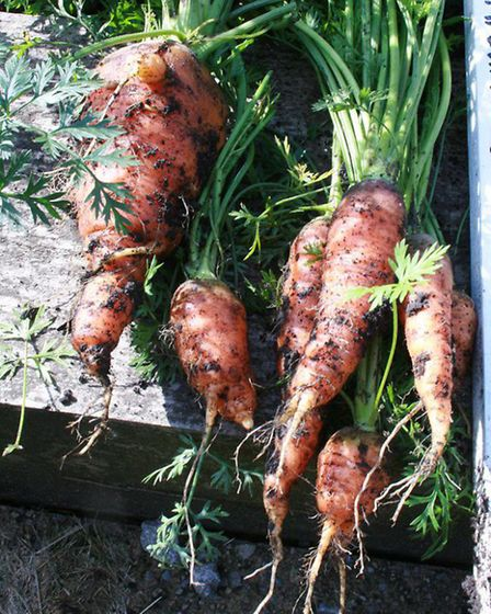 They might not be pretty, but these James Intermediate carrots would have been welcome in the workho