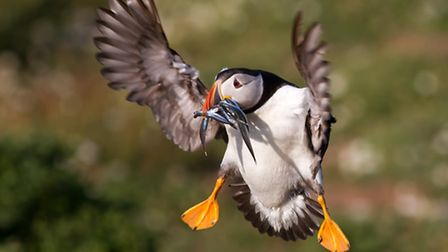 East Yorkshire boasts the best mainland and most easily viewed colony of puffins in the country Ph