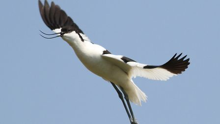 The stunning monochrome-plumaged avocet has made a remarkable return to the UK, and is now well at h