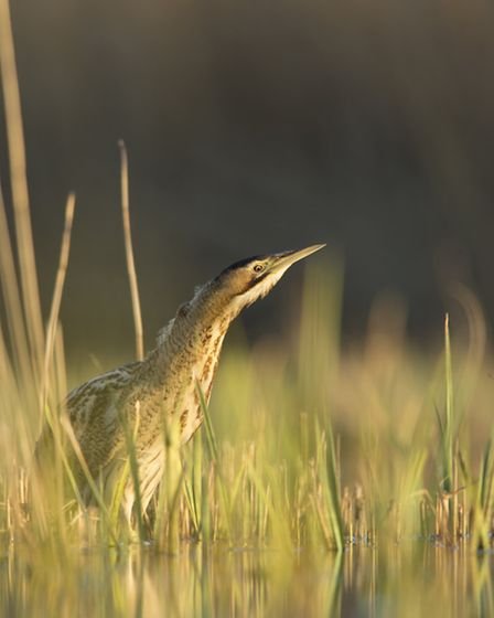 The elusive bittern makes its presence known in early spring with booming calls than can resonate fo