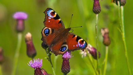 The aptly named peacock butterfly is one of our most vibrant species. Picture by Bob Coyle