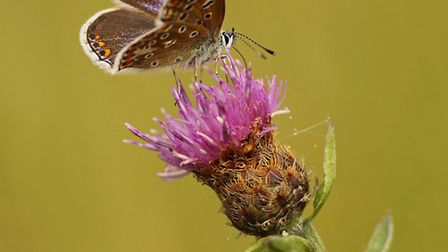 The brown argus can be found at Yorkshire Wildlife Trusts North Cave Wetlands reserve near Hull. Pic