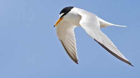 The Little Tern is one of Britains rarest breeding seabirds but makes an annual home at Spurn. Photo