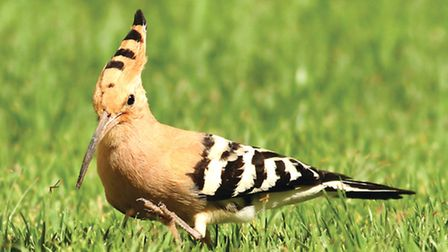 The tropical-looking hoopoe is just one of hundreds of rare feathered visitors from the continent th