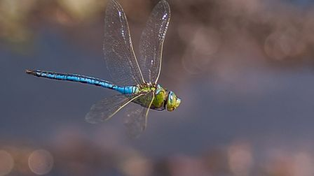A double pair of wings, beating alternately, gives dragonflies their unparalleled aerial prowess abo