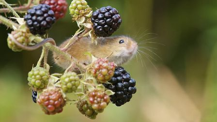 Calorie-laden blackberries are a favourite of our small mammals like this tiny harvest mouse, and ev