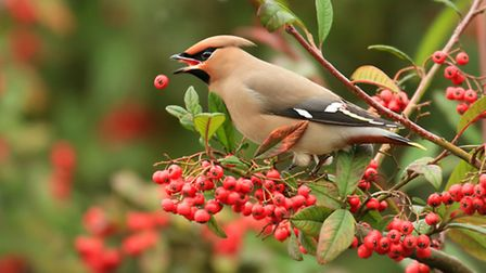 A winter visitor in large numbers from Scandinavia every few years, the waxwing gorges on the cotane