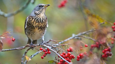 The striking fieldfare makes Yorkshire its home each winter, feasting on our hedgerow berries as soo