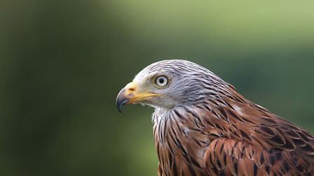 Red kite - photo Mike_Snelle