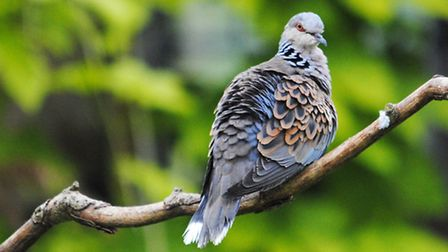 Turtle dove by Amy Lewis