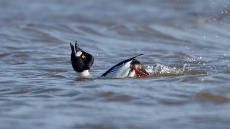 For the male goldeneye, securing a partner can be a real pain in the neck, with their annual display