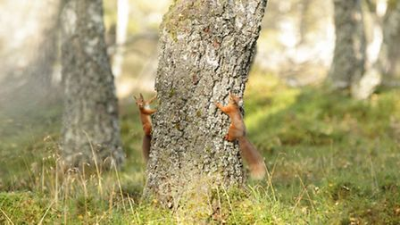 Both red squirrels (pictured here) and grey squirrels indulge in up to an hour of intense chasing ah