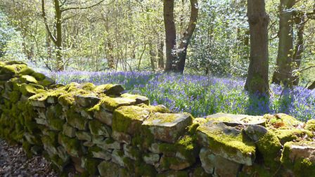 Bluebells stretch as far as the eye can see