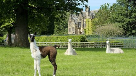 Dont forget to say hello to the resident llamas at Gisborough Hall (theyre sticklers for good manner
