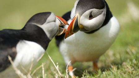 Puffins Photo Amy Lewis