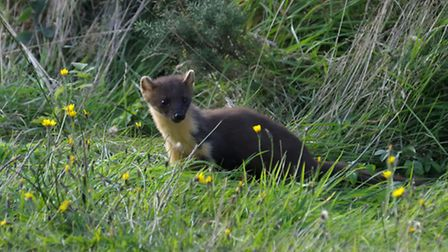 Pine Marten. Photo: Karl Franz