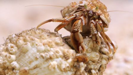 Home from home this hermit crab inspects a new potential residence (Amy Lewis)