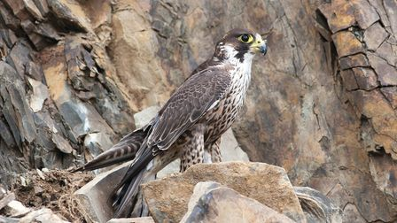 Peregrine (c) Mike Snelle