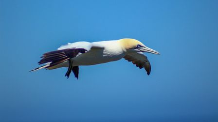 Gannet in flght at Bempton Cliffs by Nathan Parry
