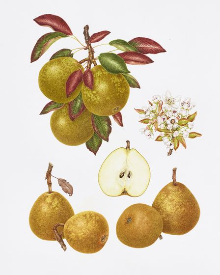 Winter Nelis - Pretty cinnamon russeted Winter pear with attractive blossom and lovely pink tinged y