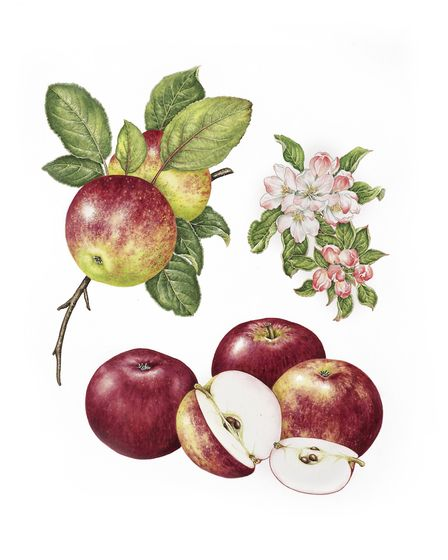 McIntosh - A vivid deeply coloured crimson apple discovered and propagated in Canada. The sweet whit
