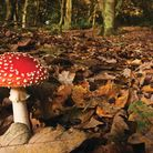 Fly Agaric, a mushroom that looks like it has come straight out of a fairy tale. Picture by Elliott