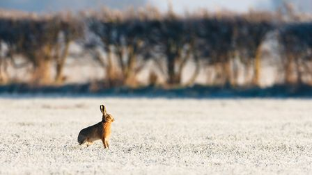A brown hare standing alert in hoarfrost field at dawn. Pictyre by Elliott Neep