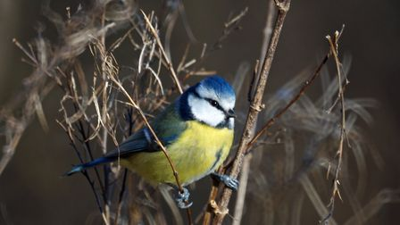 A blue tit captured by Catherine Sutherland