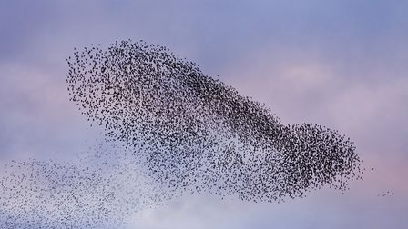 Starlings take to the sky