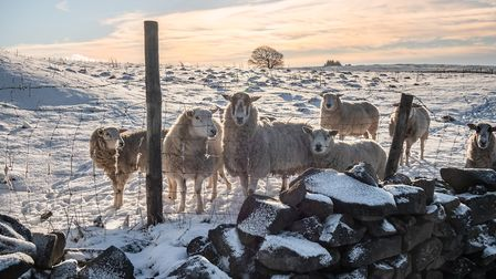 Yorkshire sheep in the snow by Lee Harris
