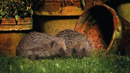 Two hedgehogs nestle together in the corner of a garden. Picture by Jon Hawkins