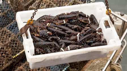 Harbour side: The lobsters, which have been extracted from the lobster pots at sea and stored in containers on the vessel,...