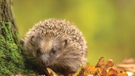 Everyone's favourite garden guest, the hedgehog
