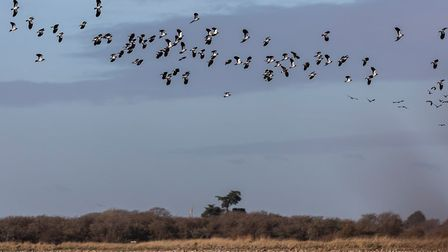 A lapwing flock in flight over autumn fields (c) RSPB Yorks