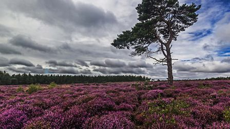 Heather in Helmsley - Keith Sayer