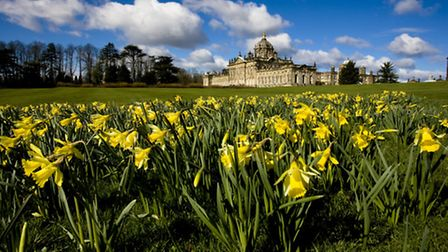 Daffodils carpet the grounds in spring, Castle Howard