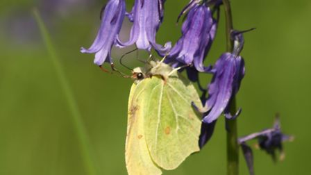 Butterflies like the early emerging brimstone make the most of spring flowers, in this case an Engli