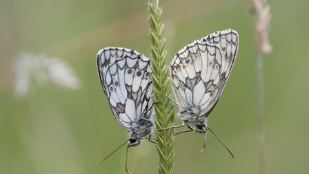 A pair of marbled whites before mating in a native grassland. Picture by Don Sutherland